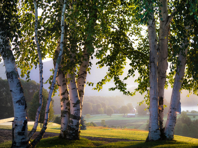 <p>Birch trees overlooking valley in the early morning mist.</p>