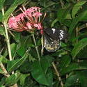 12642   Cairns Birdwing Butterfly