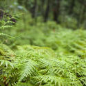 11853   Close up of bright fern in forest