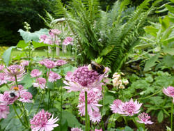 12916   Bee Collecting Pollen from Pink Flowers in Garden