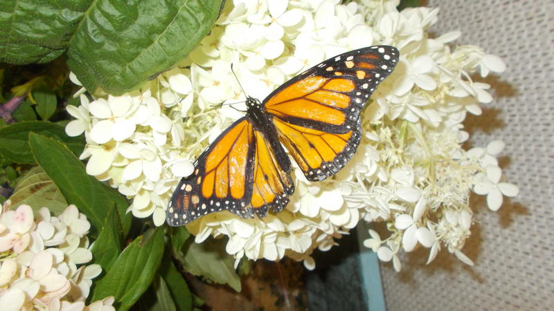 <p>I took this photo at the butterfly exhibit at the New York State Fair</p>