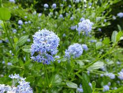 12917   Light blue flower cluster on plant in garden