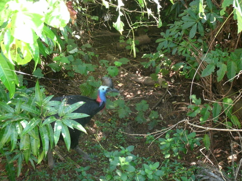 <p>Cassowary in our back yard</p>
