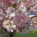 17118   Cherry Tree