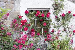 12906   Leggy roses growing along exterior wall