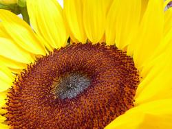 12919   Close up macro of yellow sunflower