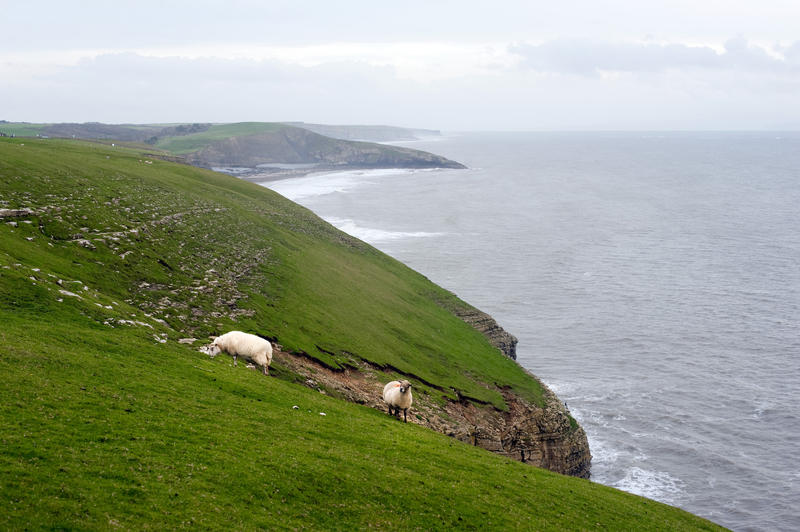 Sheep grazing in steep lush green coastal pastures sloping towards the edge of the cliffs on a rugged headland