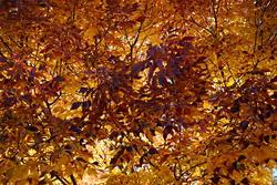 16122   Colorado Autumn Ash Leaves