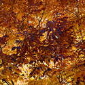 16122   Colorado Autumn Ash Leaves