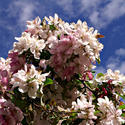 12621   Colorado Cherry Blossom
