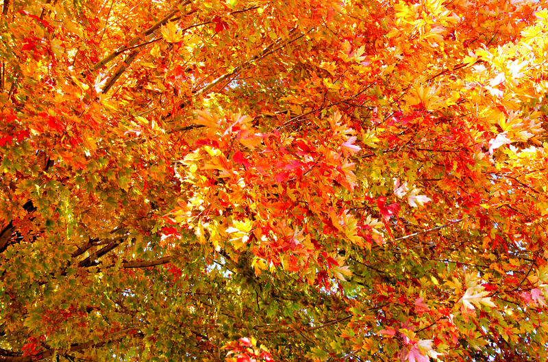 <p>This is one of many wonderful golden autumn trees that I photographed during an outing on Oct 20, 2011 near Denver, Colorado.</p>