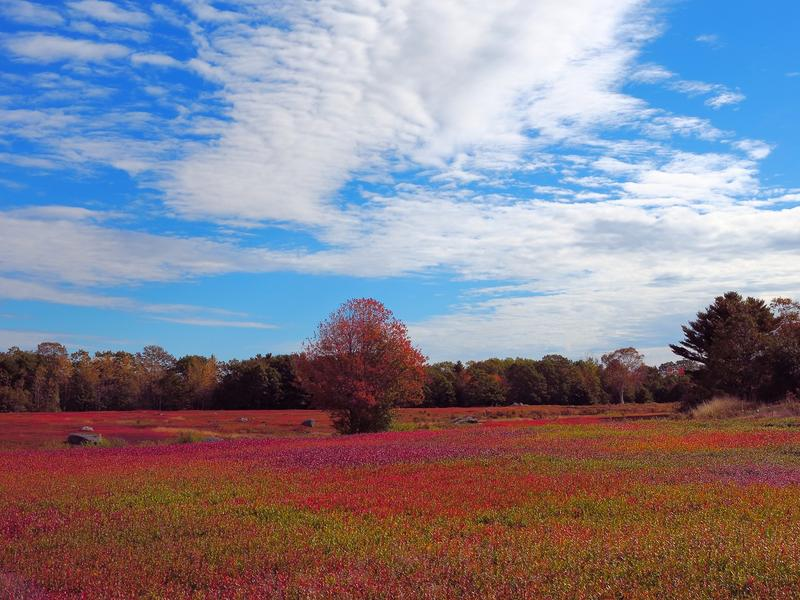 <p>Maine Coast Blueberry fields in bloom.</p>