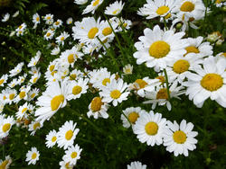 12920   Cluster of common yellow and white daisies