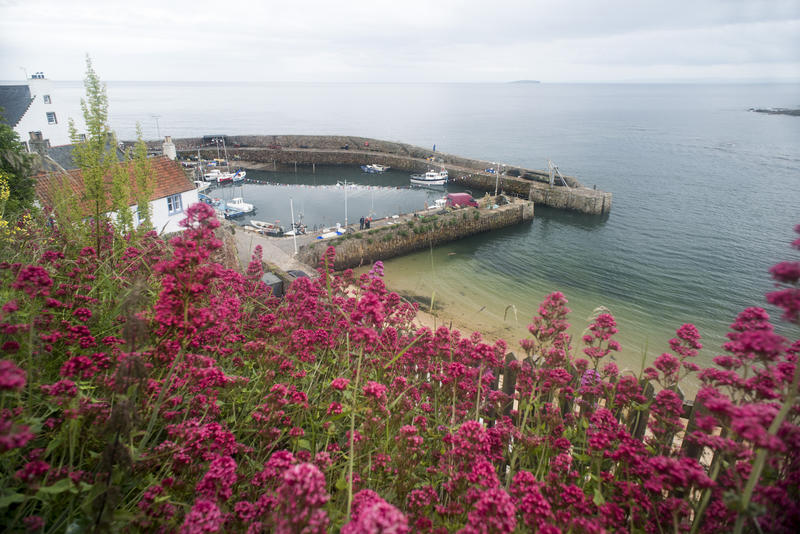 Pretty purple clustered wildflowers on a hill facing the harbor in Crail, Fife Coast, Scotland