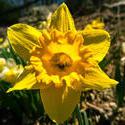 12106   daffodil