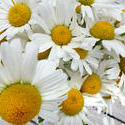 12921   Bunch of Picked Daisies on Outdoor Patio Table