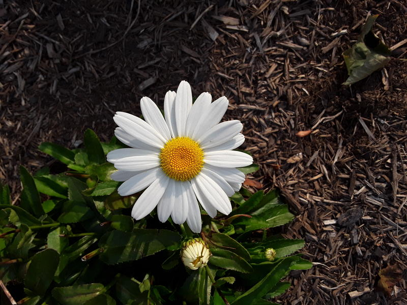 <p>A white daisy in full bloom</p>