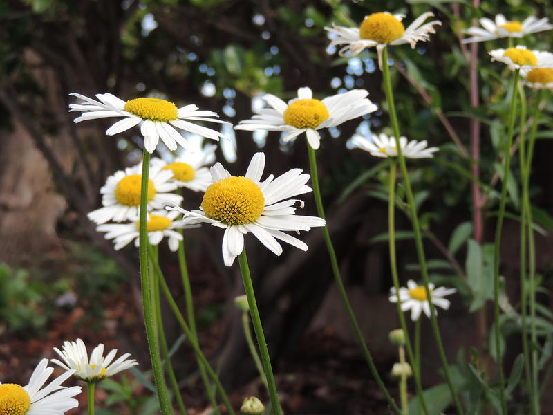 <p>Daisy or daisies in woodland</p>