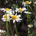 15643   Daisy