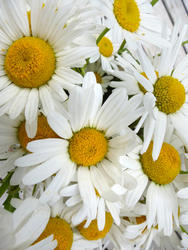 12922   White and yellow Marguerite daisies