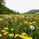 12046   dandelion field 2