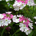 12923   White and purple blooms on garden plants