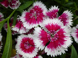 12924   Pretty dainty pink and white dianthus flowers