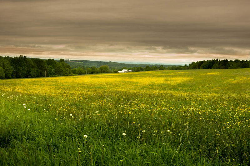 <p>Ominous cloudscape over meadows of little yellow flowers in coastal, down east Maine</p>