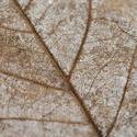 11849   Macro detail of a dead leaf