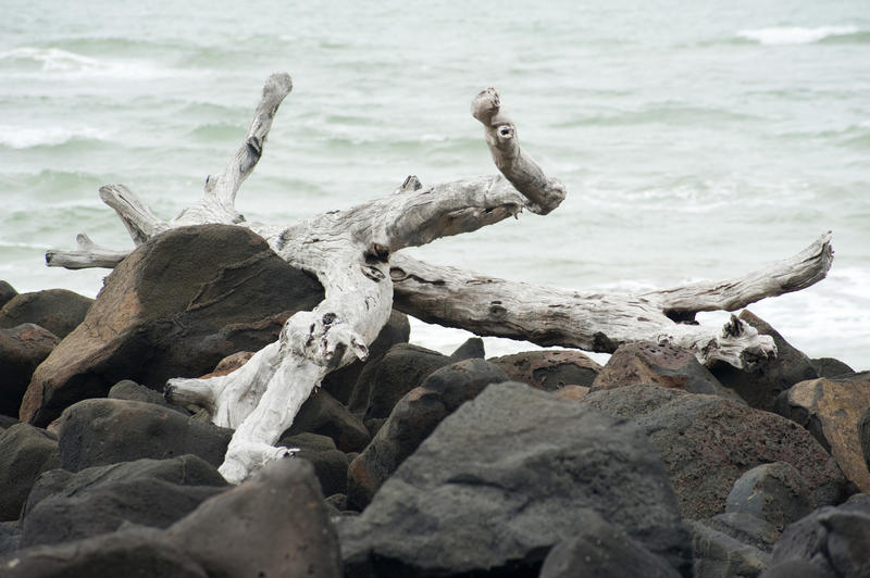 Dried weathered drift wood lying high and dry on the rocks at the edge of the sea washed up by the tides