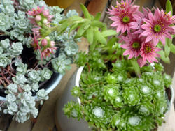 12925   Potted Echeveria Succulent Plants with Pink Blooms
