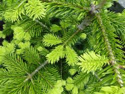 12926   Fresh evergreen conifer foliage