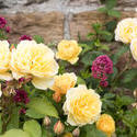 12909   Colorful yellow roses in a cottage garden