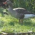 12513   goose 2