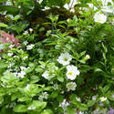 12931   Delicate White Flowers with Greenery in Planter