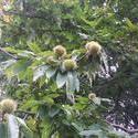 12521   horse chestnut