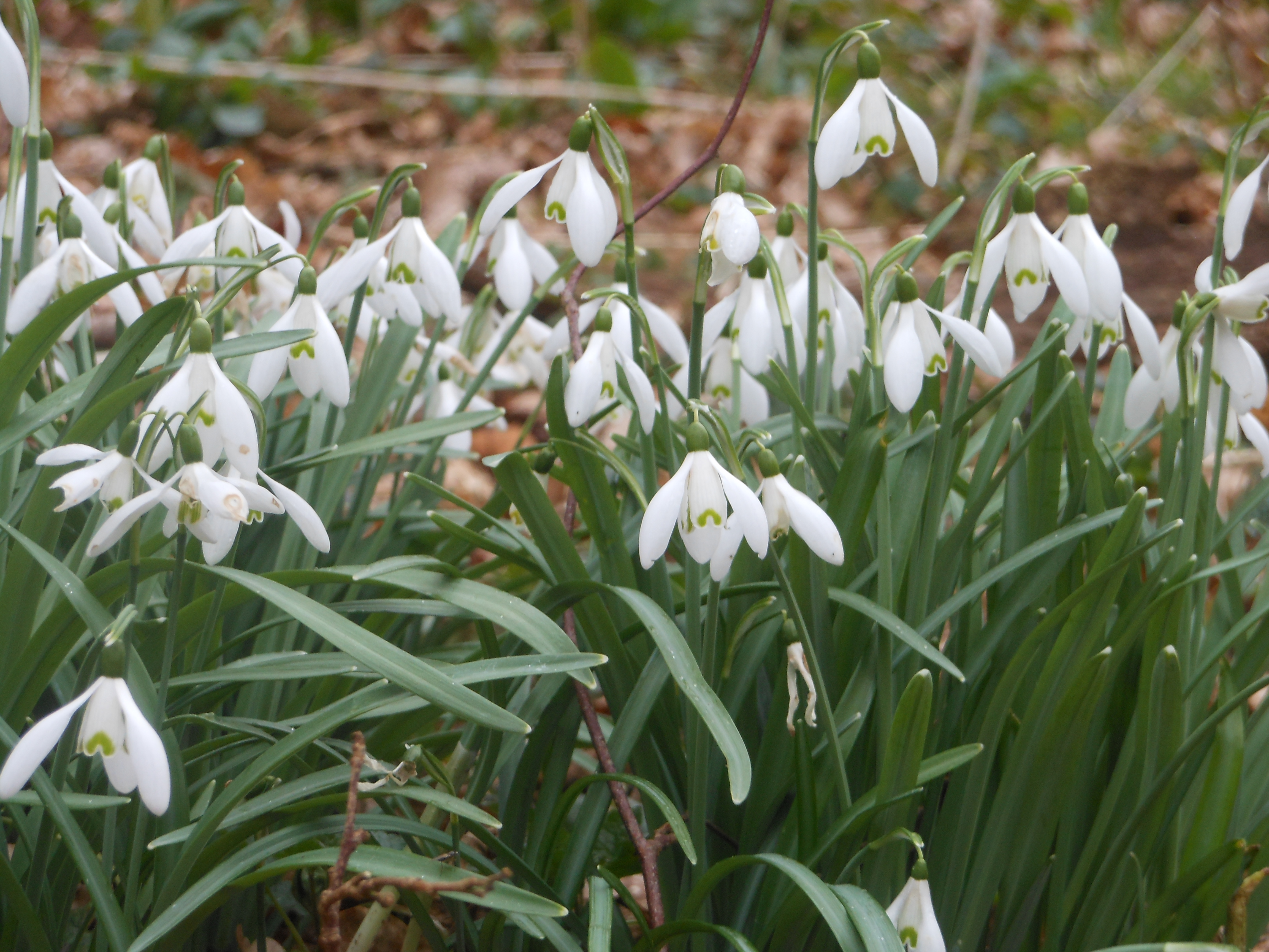 Free stock photo 12523 late winter early spring 6 freeimageslive plate winter flowers norfolk uk snowdropsp mightylinksfo