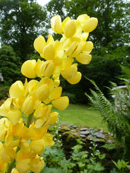 12932   Brightly colored yellow lupine flowers