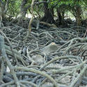 11821   Tangled mass of mangrove roots