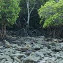 11822   Rocky mangrove swamp at low tide