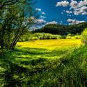12116   meadow dandelions