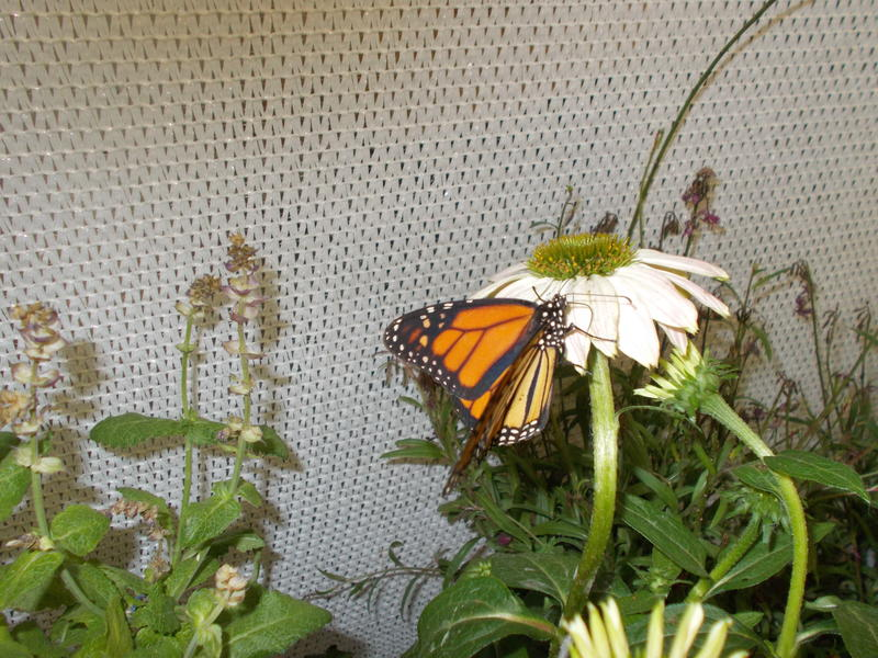 <p>A Monarch Butterfly On A White Daisy</p>