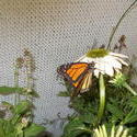 16959   monarch butterfly