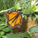 16948   Monarch Butterfly