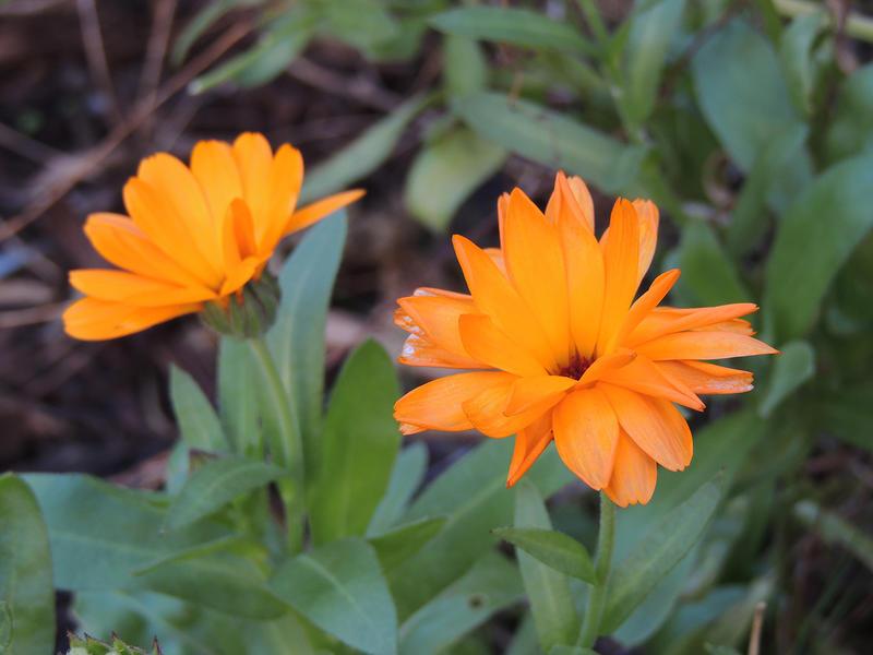 15644   Orange flower