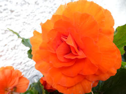 12933   Bright Orange Begonias in Outdoor Garden