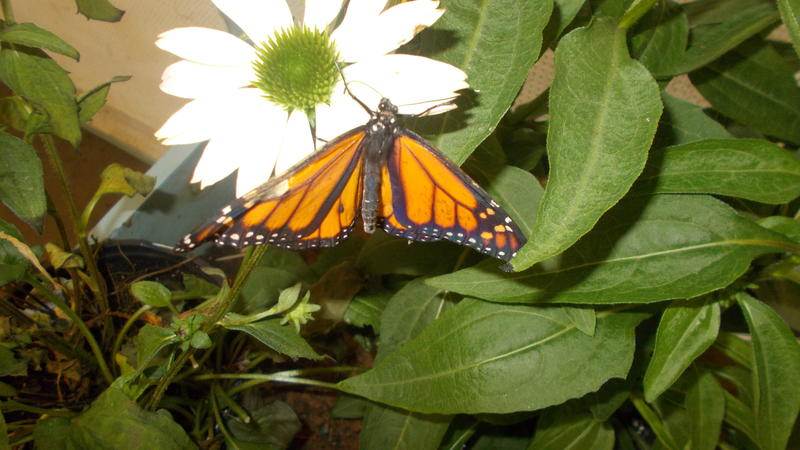 <p>This is one of my favorite photos I took at the butterfly exhibit</p>