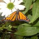 17062   orange butterfly