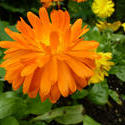 12934   Large orange flower in garden