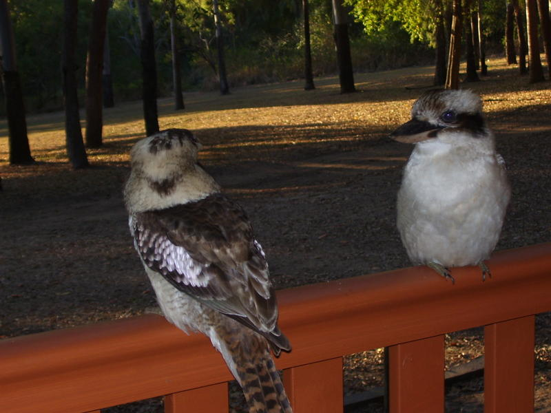 <p>Kookaburras visiting residents of cabins at a caravan park in the hopes of getting a free meal.</p>